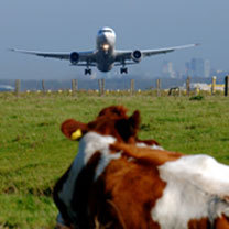 plane and cow